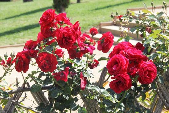 rosebcn (1)