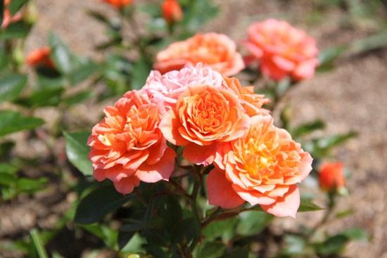rosebcn (10)