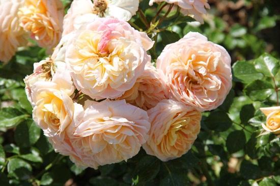 rosebcn (12)