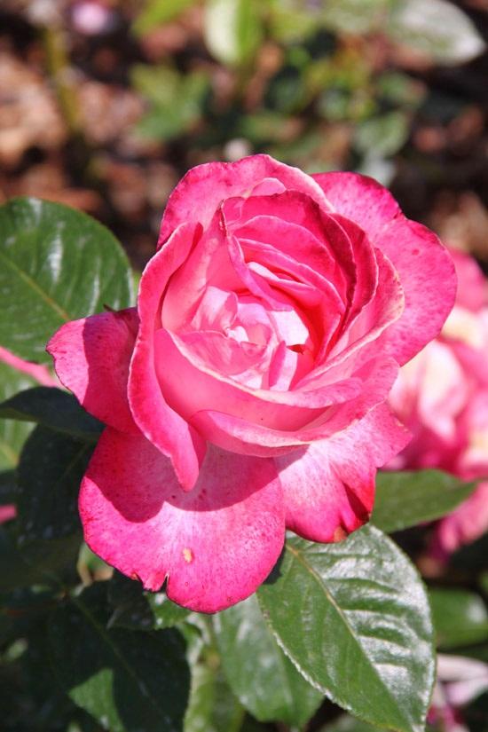Le concours International des Roses