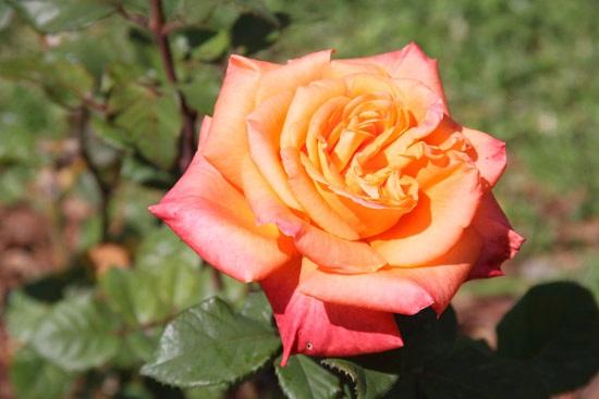 rosebcn (2)