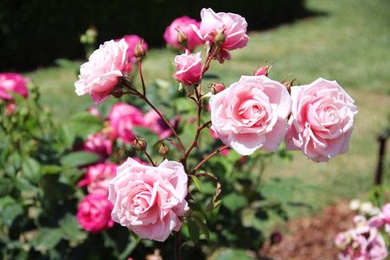 rosebcn (3)